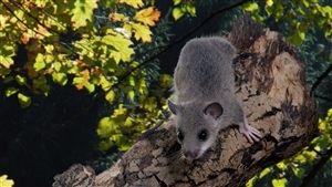 Rodent Mouse on Tree