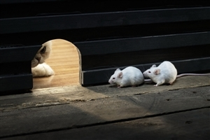 Two Cute Funny Mouse in Their Home Hidden from Cat HD Wallpapers