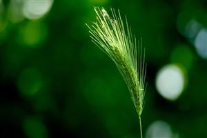 Nature Green Wheat