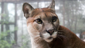 Animal Cougar 5K Wallpaper