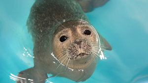 Animal Earless Seal Swimming in Sea