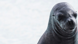 Animal Earless Seal Wallpaper