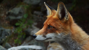Animal Fox Close Face