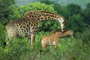 Animal Giraffe with their Child Wallpaper Free Download
