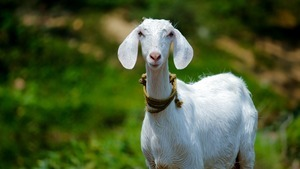 Animal Goat Wallpaper