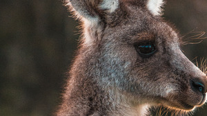 Animal Kangaroo Face Wallpaper