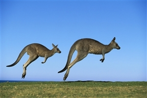 Animal Kangaroo HD Wallpaper