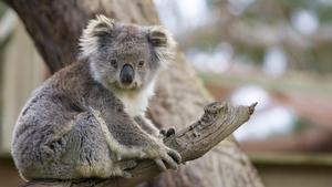 Animal Koala HD Wallpaper