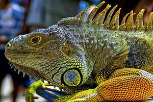 Animal Lguana Lizard Pic