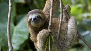 Animal Sloth in Branch