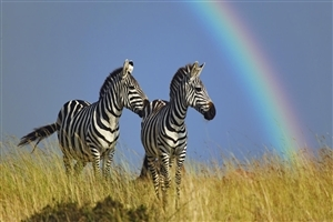 Animal Zebra Rainbow Photo Capture