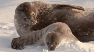 Baby Earless Seal with Mother in Snow Superb Wallpaper