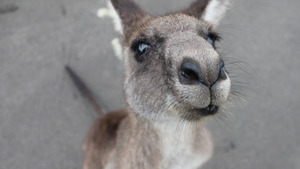 Baby Kangaroo Face 4K Wallpaper