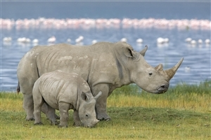Big Animal Rhinoceros and His Child Photo