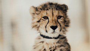 Charming Cheetah Baby 5K Wallpaper