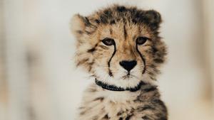 378 Download 312 Views Charming Cheetah Baby 5K Wallpaper
