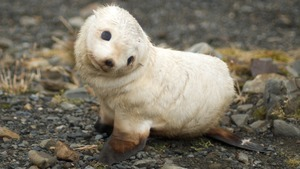 Charming Earless Seal Baby