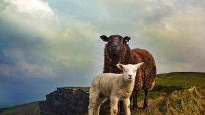 Cute Child Sheep with Mother 4K Wallpaper