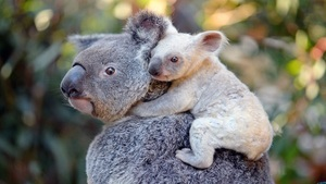 Cute White Child Baby Behind Mother Koala