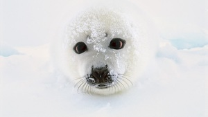 Cute White Earless Seal