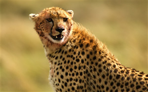 Download Pic of Wildlife Cheetah