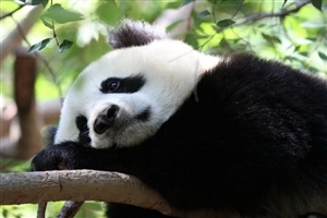 Giant Panda Sleeping on Tree Photo