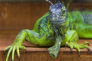 Green Iguanas Reptile Animal Wallpaper