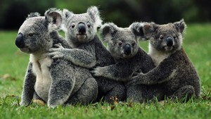 Group of Koala in Green Grass