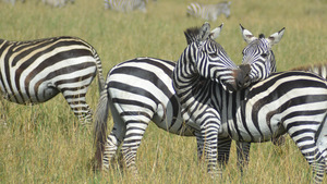 Group of Wildlife Zebra