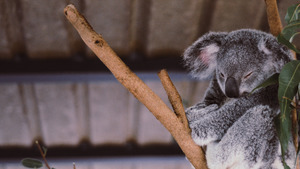 Koala Sleeping in Branch 4K Wallpaper