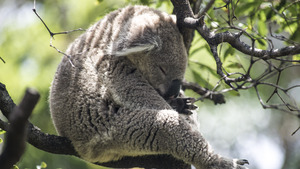 Koala Sleeping in Tree 5K Wallpaper