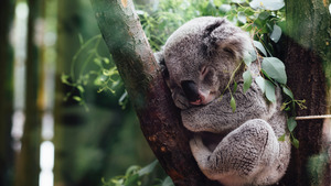Koala Sleeping in Tree HD Wallpaper
