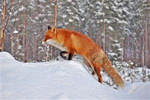 Red Fox in Snowy HD Wallpaper