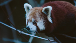 Red Giant Panda 5K Wallpaper