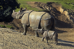 Rhinoceros in San Diego Zoo in California US Wallpaper