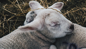 Sheep Sleeping 4K Wallpaper