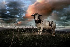 Standing Cow Photo
