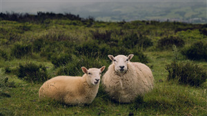 Two Sheep Pair in Green Grass 5K Wallpaper