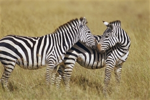 Two Zebra in Jungle HD Animal Photo