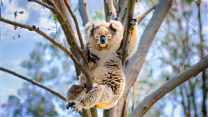 White Koala in Tree Branch