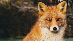 Wildlife Animal Fox HD Wallpaper