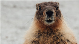 Wildlife Marmot Wallpaper