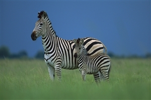 Zebra Animal HD Wallpaper
