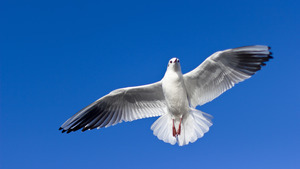 5K Wallpaper of Flying Seagull Bird