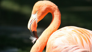 Beautiful Bird Flamingo HD Images