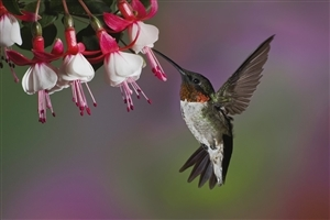 Beautiful Hummingbird HD Wallpaper