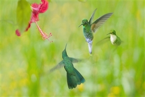 Beautiful Hummingbird Wallpaper