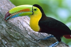 Beautiful Kell Billed Toucan Bird Wallpaper