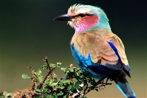 Beautiful Nice Lilac Breasted Roller Bird Wallpaper