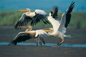 Beautiful Pelican Bird HD Photo